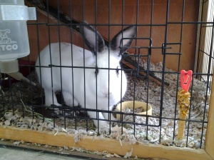 Bunny at the SPCA of Solano County