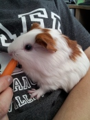baby Guinea Pig and the SPCA of Solano County